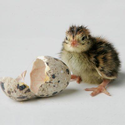 hatching-22